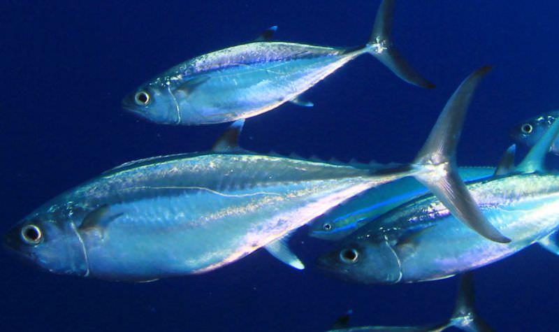 Mar de atunes. Conservas Isabel